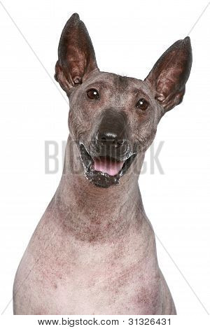 Peruvian hairless dog on a white background poster