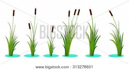 Set Of Variety Reeds With Leaves On Stem. Reed Plant. Flat Vector Illustration Isolated On White Bac