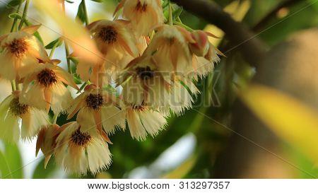 Hanging Flowers Of Elaeocarpus Hainanensis Or Elaeocarpus Grandifloras Flower (also Called As Elaeoc