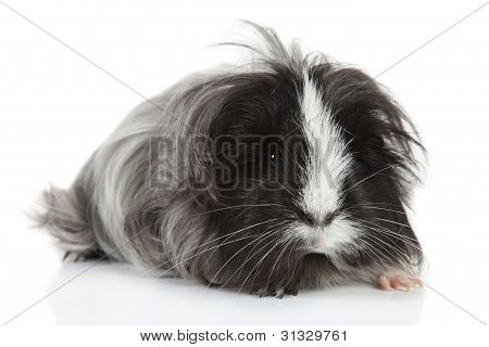 Guinea Pig On White In Studio. Selective Focus