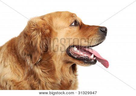 Golden Retriever Dog Portrait. Side View