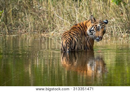Royal Bengal Male Tiger Resting And Cooling Off In Water Body. Animal In Green Forest Stream. Wild C
