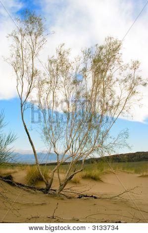 Saxaul tree in desert spring morning Kazakhstan poster