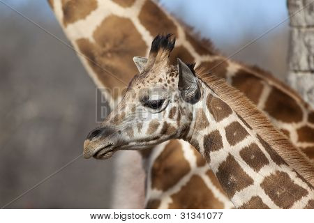 Giraffe with Mother