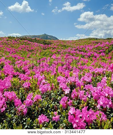 Blossoming Slopes (pink Rhododendron Flowers Close-up) Of Carpathian Mountains, Chornohora, Ukraine.