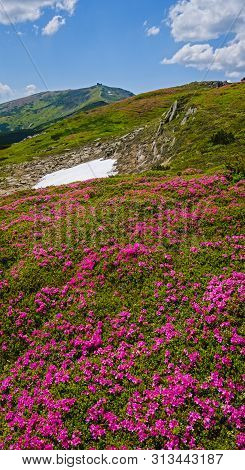 Blossoming Slopes (rhododendron Flowers) Of Carpathian Mountains, Chornohora, Ukraine. Summer.