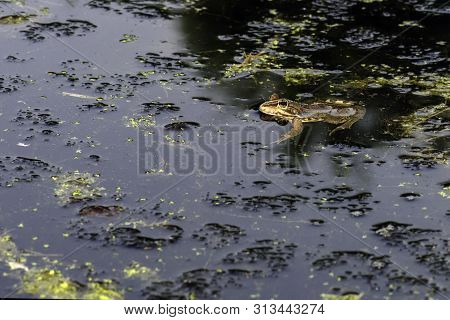 Common Frog Of Sardinia, Present In The Ponds In The Summer. Its Natural Habitats Are Temperate Fore