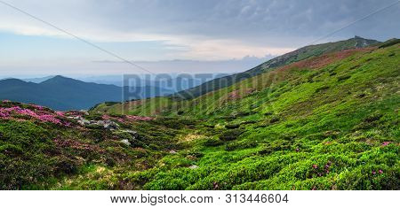 Pink Rose Rhododendron Flowers On Summer Mountain Slope And Pip Ivan Mount Peak Behind. Carpathian,