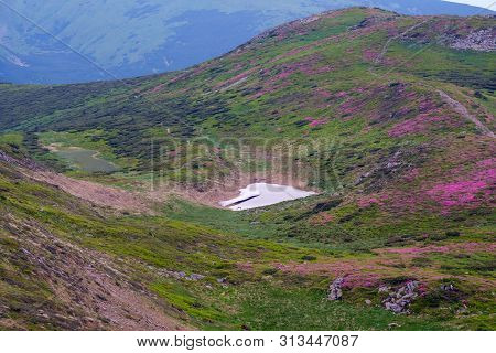 Pink Rose Rhododendron Flowers On Summer Mountain Slope. And Remnants Of Melting Snow In Small Valle