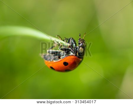 A Ladybird (coccinella Septempunctata) Sitting On Grass In A Garden