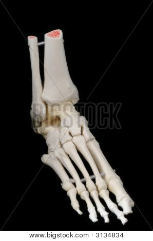 Right Front Of Foot Skeleton