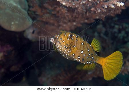 Yellow boxfish fem. (ostracion cubicus).