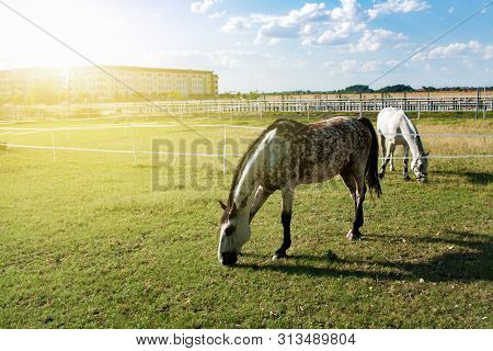 White Spotted Horse . Horses On Stables . Horses In Pasture