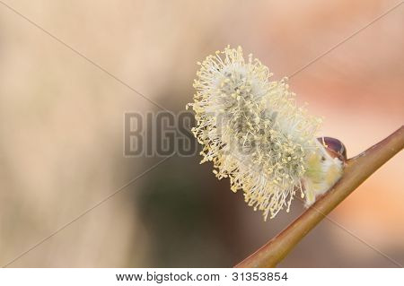 Blooming willow tree. Blooming Salix caprea