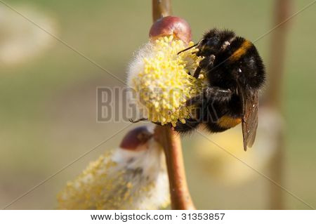 bumble bee feeds on the pollen of a flower