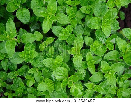 Fresh Oregano Herbs On A Garden Bed After The Rain
