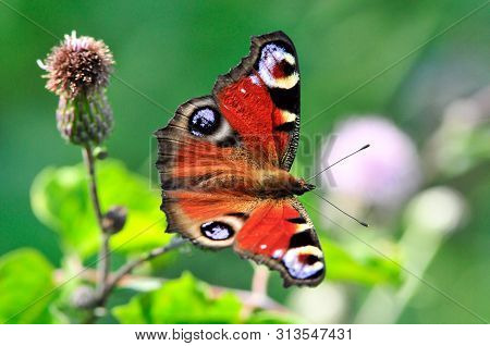 The European Peacock (aglais Io), More Commonly Known Simply As The Peacock Butterfly, Is A Colourfu