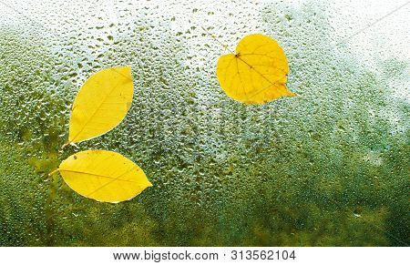 Yellow Autumn Leaves Stuck To The Wet Window. The Glass In Drops Of Rain. Free Space. Place For Text