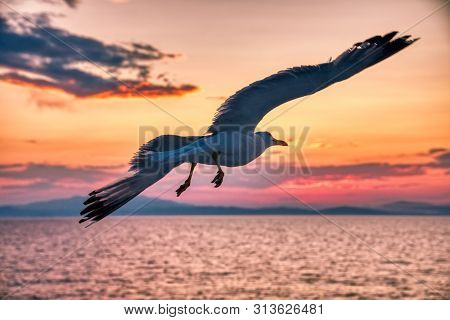 Silhouetted Seagull Is Spread The Wings On Sunset In Summer Season At Thassos Island In Greece