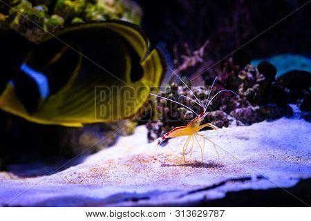 Pacific Cleaner Shrimp Lysmata Amboinensis Nature Sea Ocean Life Ecology