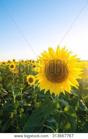 Beautiful Young Sunflower Growing In A Field At Sunset. Agriculture And Farming. Agricultural Crops.