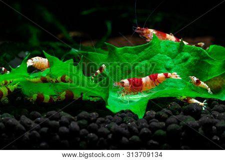 Caridina Cantonesis Crystal Red Shrimp Eating Pets Hobby Aquarium Freshwater