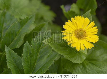 Wild Yellow Daisy Flower. Background Of Green Leaves