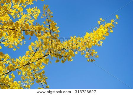 Ginkgo Tree (ginkgo Biloba), Branches With Yellow Leaves Against The Clear Blue Sky. Bright Contrast