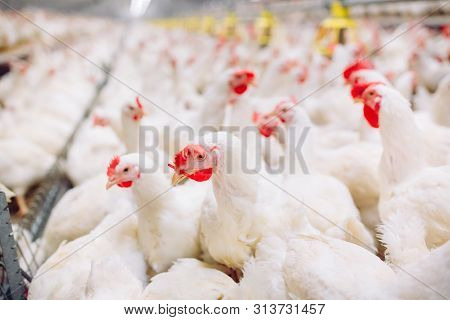 Indoors Chicken Farm, Chicken Feeding, Farm For Growing Broiler Chickens