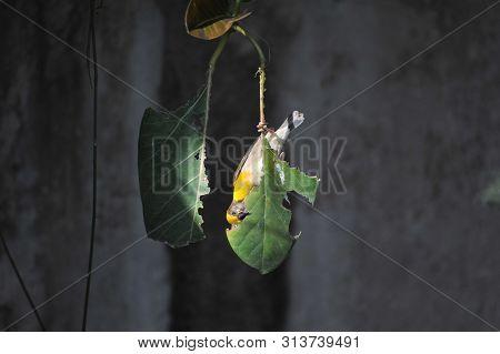 A Bird, Baya Weaver Making Its Beak Sharp By Rubbing At A Leaf