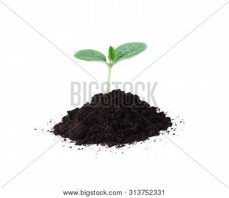 Pumpkin Seedling In Soil Isolated On White Background