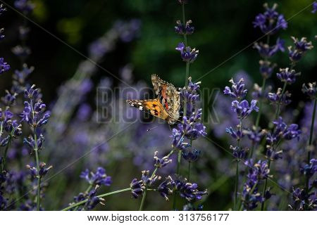 Vanessa Cardui Butterfly In Lavender Flowers Macro Insect Nature Close Up Summer