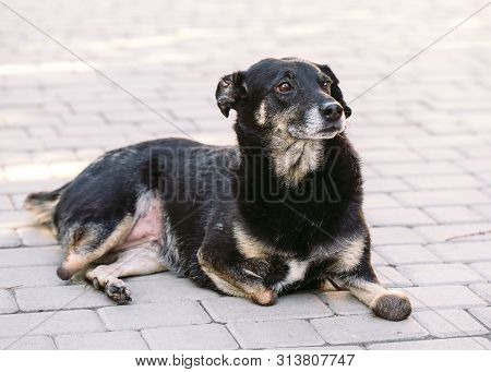 Crippled Dog Without Three Legs Lying On The Road,