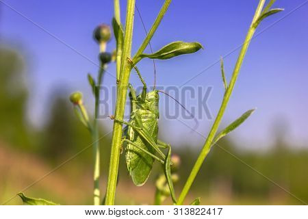 Grasshopper Green, Or Grasshopper Ordinary - A Type Of Insects From The Family Of Real Grasshoppers