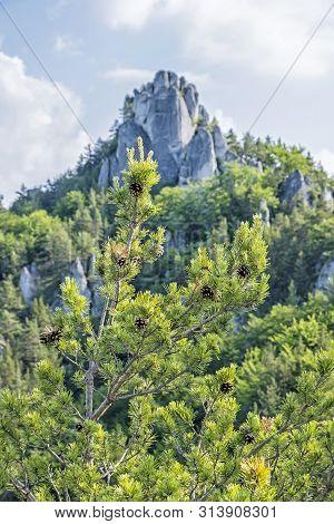 Sulov Rocks, Slovak Republic. Seasonal Natural Scene. Coniferous Trees With Pine Cones. Hiking Theme