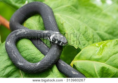 A Black Snake With White Spots Sits On A Branch With Green Leaves. The Grass Snake Natrix, Sometimes