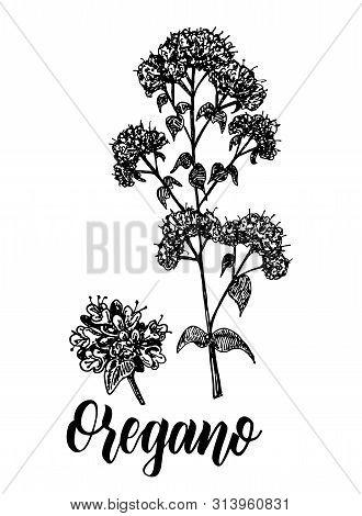 Origanum Vulgare, Oregano Vector Hand Drawn Sketch