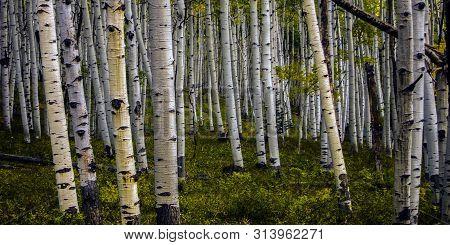 White Bark Quaking Aspen Forest In Colorado