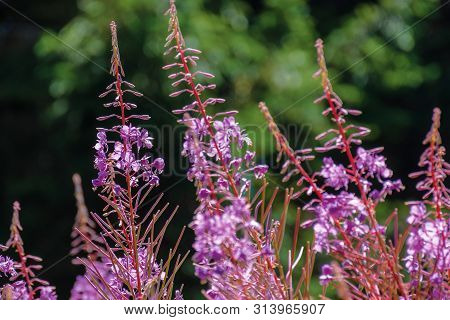 Willow Herb Purple Flowers Closeup. Beautiful Nature Background. Forest Blurred In The Distance