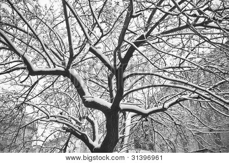 Snow On Tree Branches.