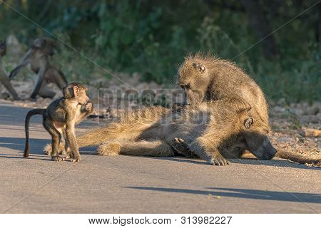 A Chacma Baboon, Papio Ursinus, Grooming Another Baboon. A Young Baboon Is Looking On