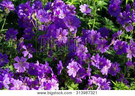 Meadow Of Cranesbill Johnsons Blue Geranium Flower