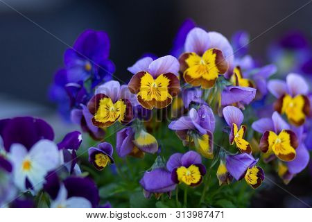Purple And Yellow Viola On Flowerbed In Summer Park