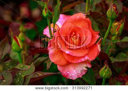 Fragrant Rose In Full Blossom