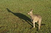Kangaroo, that symbol of Australia, stands casting its shadow on lawn. poster