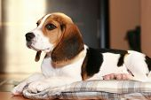 Beagle puppy lying in home on a bed poster