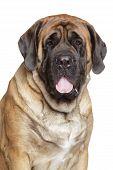 Portrait of a english mastiff on white background poster