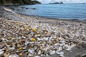Thousands of empty shells of eaten oysters discarded on sea floor in Cancale, famous for oyster farms.  Brittany, France poster