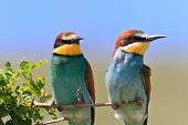 european bee eater (Merops Apiaster) on the branch poster