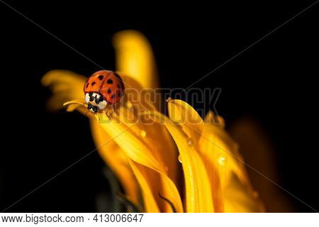 A Ladybug Walking On A Sunflower Petal.  The Petals Of The Flowers Are Covered Of Water Drops. The B